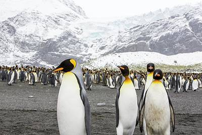 King Penguins On The Beach Poster