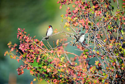 Kingbird Pair Poster
