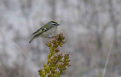 Poster featuring the photograph Kinglet by Greg Graham