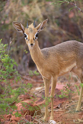 Kirk's Dik-dik Poster by Simon Booth