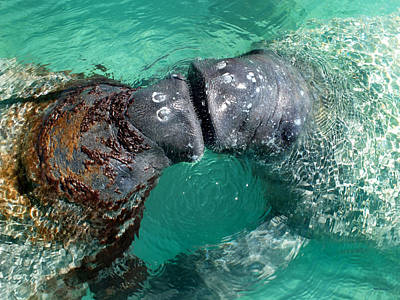 Kissing Manatees Near Harbour Island Poster