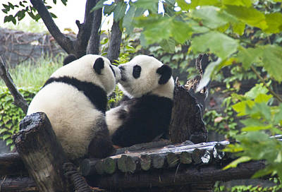 Poster featuring the photograph Kissing Pandas by Jialin Nie Cox ChinaStock