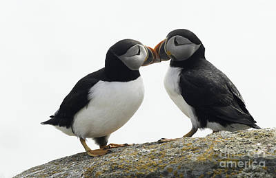 Kissing Puffins Poster