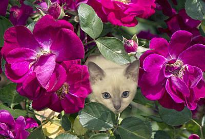 Kitten Among Pink Roses Poster
