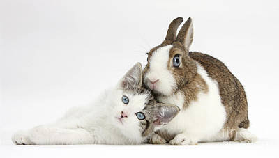 Kitten And Netherland Dwarf Rabbit Poster by Mark Taylor