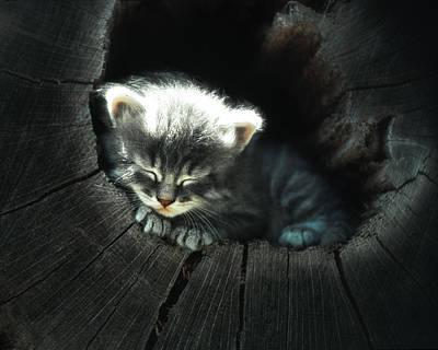 Kitten In A Log Poster