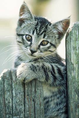 Kitten On Fence Poster by Judi Baker