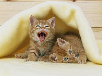 Kittens Under A Blanket Poster