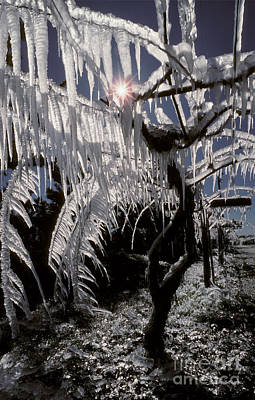 Kiwi Vines With Icicles Poster by Ron Sanford
