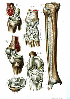 Knee And Ankle Joints Poster by Collection Abecasis