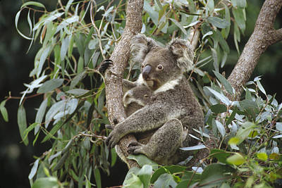Koala And Old Joey Resting Australia Poster by Gerry Ellis