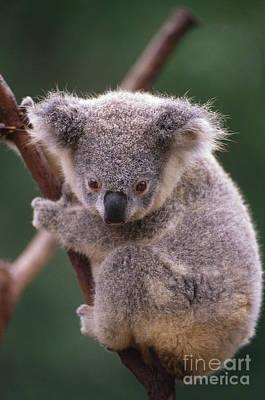 Koala, Australia Poster by Art Wolfe