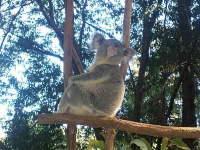 Koala Bear In Australia Poster by Mary J Tait
