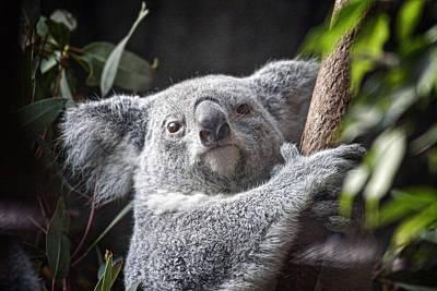 Koala Bear Poster by Tom Mc Nemar