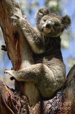 Koala Poster by Bob Christopher