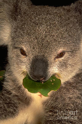 Koala Eating Eucalyptus Poster by Art Wolfe