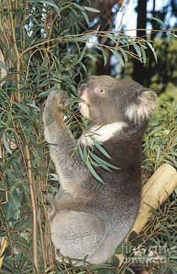 Koala Poster by Gregory G. Dimijian