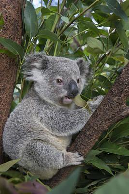 Koala Joey Australia Poster by Suzi Eszterhas
