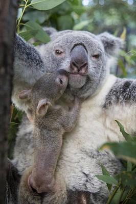 Koala Joey Exiting Pouch To Nuzzle Poster by Suzi Eszterhas