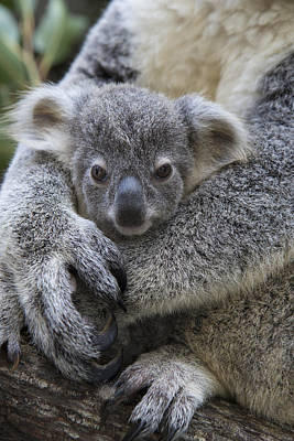 Koala Joey In Mothers Arms Australia Poster