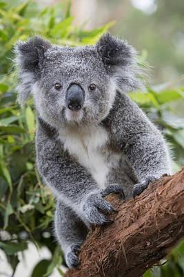 Koala Joey Nsw Australia Poster