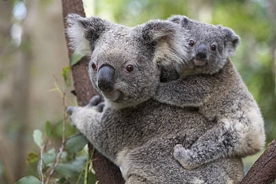 Koala Joey On Mothers Back Australia Poster