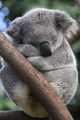 Koala Male Sleeping Australia Poster by Suzi Eszterhas