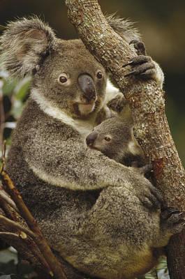 Koala Mother And Joey Australia Poster