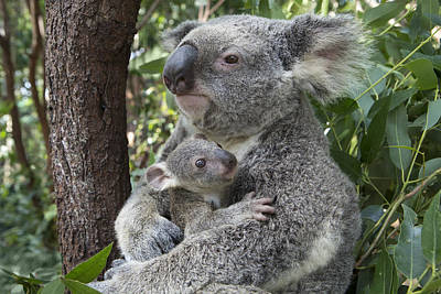 Koala Mother Cuddling  Joey Australia Poster