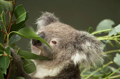 Koala (phascolarctos Cinereus Poster by David Wall