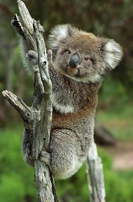 Koala Phascolarctos Cinereus Juvenile Poster