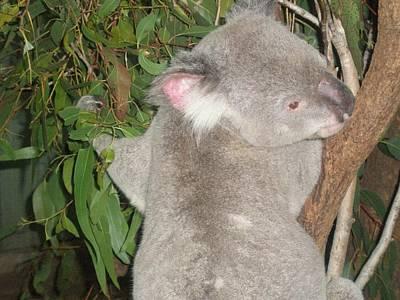 Koala In Tree Poster by Mary J Tait