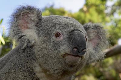 Koala Portrait Poster by San Diego Zoo