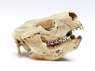 Koala Skull Poster
