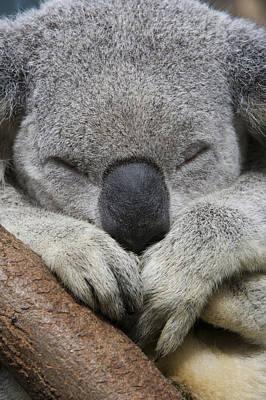 Koala Sleeping Australia Poster by Suzi Eszterhas