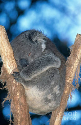 Koala Sleeping Poster by Gregory G. Dimijian, M.D.