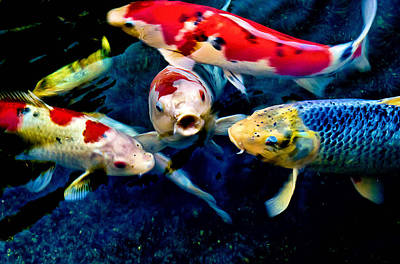 Poster featuring the photograph Koi Quartet by Joseph Hollingsworth