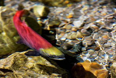 Kokanee Salmon Heading Upstream Poster by Chuck Haney