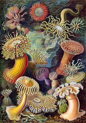 Kunstformen Der Natur. Actiniae Poster by Adolf Giltsch