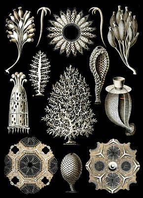 Kunstformen Der Natur. Calcispongiae Poster by Adolf Giltsch