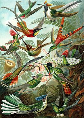 Kunstformen Der Natur. Trochilidae. Hummingbirds Poster by Adolf Giltsch