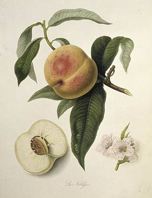 La Noblesse Peach (1818) Poster by Science Photo Library