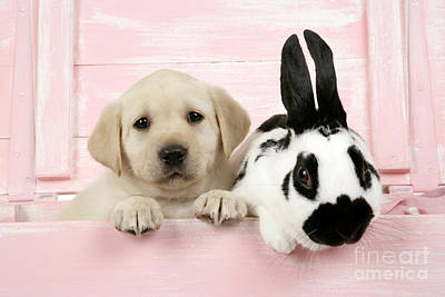 Lab Puppy And Bunny Poster