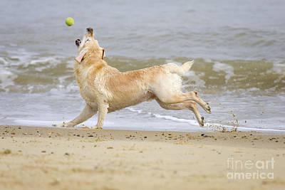 Labrador Dog Chasing Ball Poster by Geoff du Feu