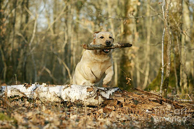 Labrador Jumping With Stick Poster by Jean-Michel Labat