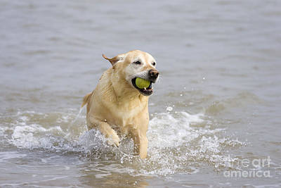 Labrador-mix Retrieving Ball Poster
