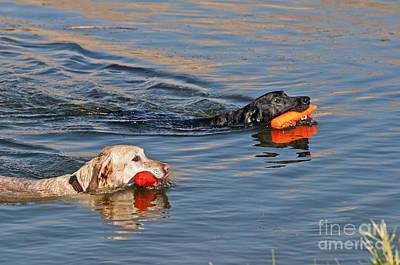 Labrador Retrievers In Pond Poster