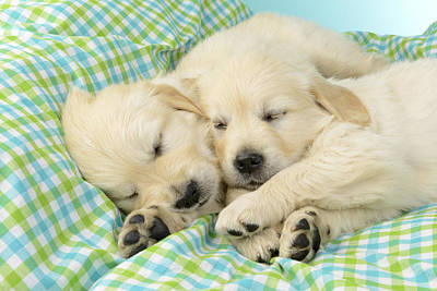 Labs Sleeping On A Blanket Poster by Greg Cuddiford