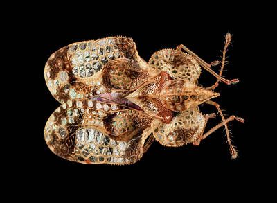 Lace Bug Poster