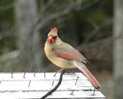 Lady Cardinal Poster by Cindy Croal